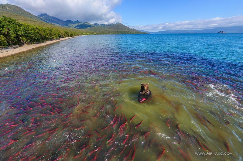 Kurile Lake, bear with sockeye salmon