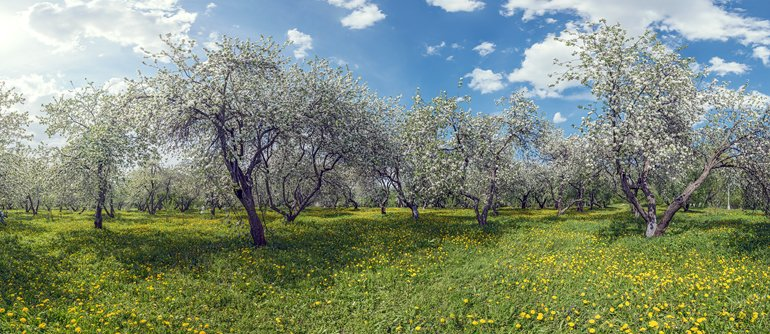 Blooming apple orchards. Moscow, Kolomenskoye - AirPano.com • 360° Aerial Panoramas • 360° Virtual Tours Around the World