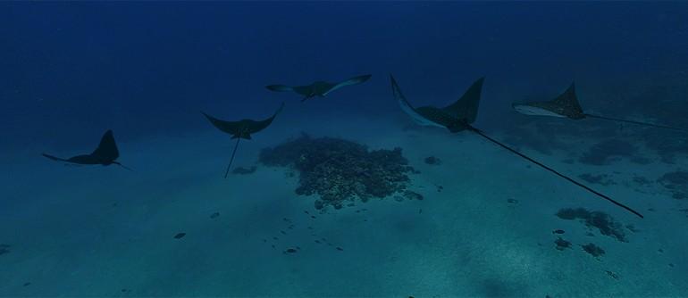 Underwater Maldives. Stingrays - AirPano.com • 360° Aerial Panoramas • 360° Virtual Tours Around the World
